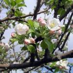 alberi da frutto-fiore di melo