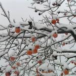 alberi da frutto-kaki