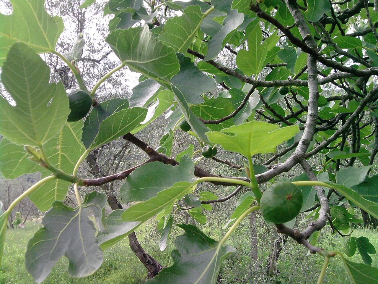 Alberi da frutto azienda agricola demetra for Alberi da frutto